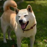 【海外の反応】柴犬おもしろ動画10選を見た外国人の反応
