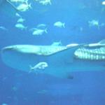 【海外の反応】沖縄美ら海水族館の巨大水槽「黒潮の海」を見た外国人の反応